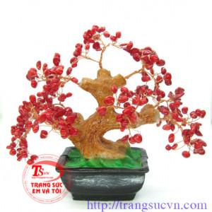 Cây san hổ đỏ